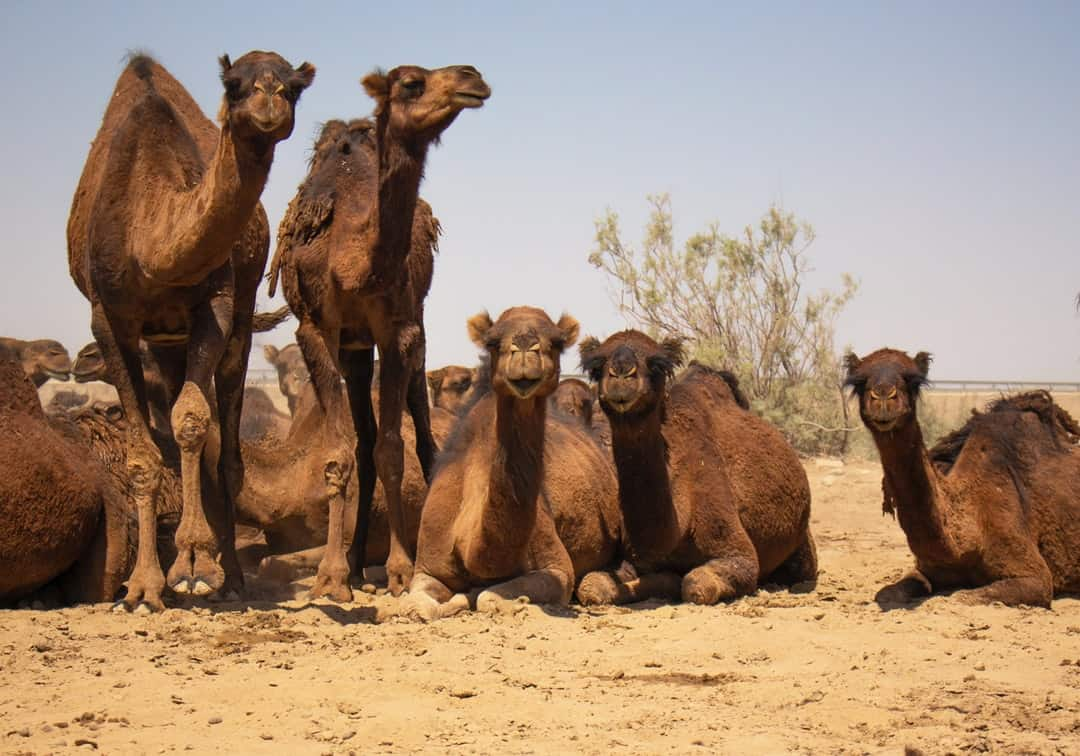 A herd of animals standing on top of a dirt field